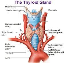 Thyroid Anatomy Image Result For Thyroid Gland Thyroid Gland Thyroid