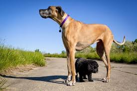 a small dog stands under a great dane