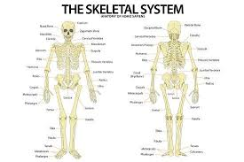 The Skeletal System Anterior Andior View Anatomical Chart Scientific