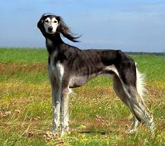 saluki dog. the saluki is a sighthound that originates from middle east. it one of oldest breed dogs and depicted in carvings early civilizations dog r