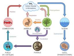 Carbon Cycle Flow Chart Carbon Cycle Bioninja