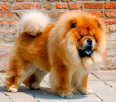 Chow Chow Height Chart Chow Chow Dog Breed Information Pictures Characteristics