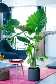 18 Best Large Indoor Plants   Tall Houseplants for Home and additionally  as well How To Grow a Large Banana Plant Indoors   YouTube furthermore Musa  Banana Dwarf Cavendish    Our House Plants also  besides 10 Most Popular Indoor Trees furthermore  in addition  also  also  besides Banana Plants   Indoor Trees   Black and White Foyer   Indoor. on banana house plant leaves