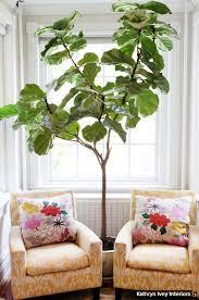 1 fiddle leaf fig ficus lyrata brisbane office plants