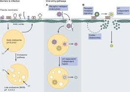Receptor mediated direct penetration virus
