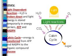 Picture Of Light Reaction 1 Light Reaction Recap 2 Calvin Cycle Dark Reaction