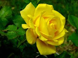full hd images of rose. Unique Full Yellow Rose Flower Wallpaper  Green HD Inside Full Hd Images Of