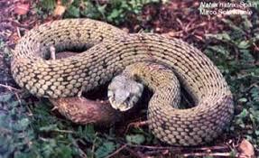 Уж уж обыкновенный natrix natrix змеи линька кожа лопается  обыкновенный уж уж обыкновенный natrix natrix фото фотография