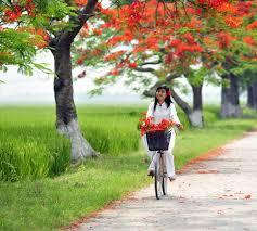 Image result for xe đạp và phượng