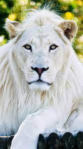White Lion Wallpapers - Top Free White ...