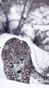 Snow leopard, snow, winter, slope ...