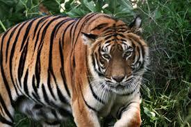 Resultado de imagem para panthera tigris