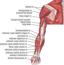 Start studying common/scientific names for muscles. Muscle Names Anatomy Muscular System Muscle Names Anatomy Human Muscle Anatomy Body Muscle Anatomy Medical Anatomy