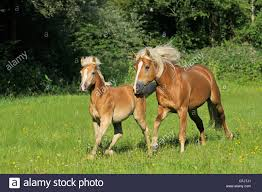 horses galloping in a field. Brilliant Galloping Two Haflinger Horses Galloping In The Field To Horses Galloping In A Field