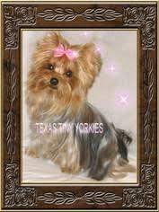 yorkshire terrier breeder in abilene tx usa