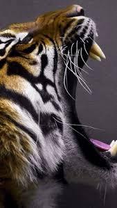 tiger roar side view. Fine Roar 156 Best TiGeR TAiLs  HeRe Me RoAr Images On Pinterest  Wild Animals  Jungles And Jungle Safari Inside Tiger Roar Side View