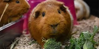 guinea pig adoption questionnaire