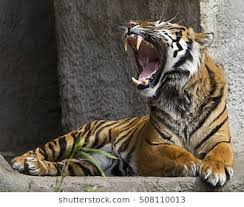 tiger roar side view. Contemporary Roar Front View Close Up Shot Of A Tiger Roaring Intended Roar Side View Shutterstock