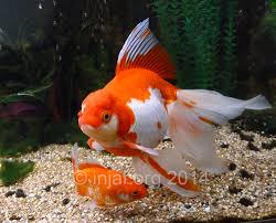 Fantail Goldfish Growth Chart What Size Tank For Goldfish Injaf