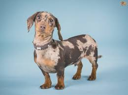 keeping dachshund pups fit and healthy pets4homes how many puppies can a miniature dachshund