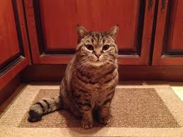 british shorthair tabby cat