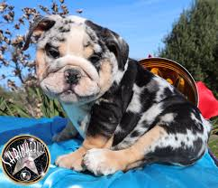 French Bulldog Color Chart Dna Color Chart Planet Merle English Bulldogs Home Of