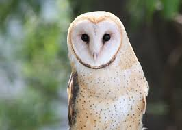 did you know that a family of barn owls can consume an average of 2000 rodents in a year this makes them one of the most effective forms of natural rodent