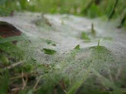Dollar Spot Or Grass Spider Webs On Lawn Reasons For Cob