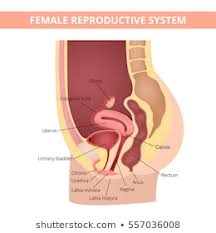 Female Organ Chart Female Internal Organs Diagram Images Stock Photos