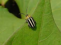 Corn Flea Beetle Flea Beetles Nc State Extension