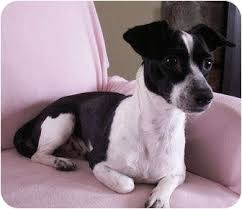 black and white jack russell terrier mix. Interesting Jack Intended Black And White Jack Russell Terrier Mix R