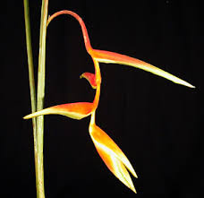 Heliconia, Hanging-<b>Sexy</b> Orange | <b>Wholesale</b> Flowers & DIY ...