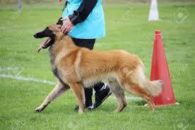 A Belgian Shepherd Dog Tervueren Who ...