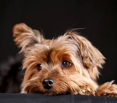 the full size yorkshire terrier is still a very small dog teacup yorkies are even