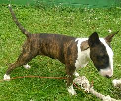 Adult Weight Strictly Bull Terriers