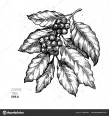 vintage coffee plant illustration.  Plant Illustration De Cafier Style Grav Vintage Caf  Vectorielle U2014 Image Throughout Coffee Plant L