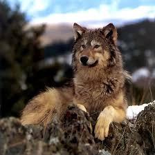 Pin by Wilma McDermott on Animals   Wolf love, Wolf husky, Wolf photos