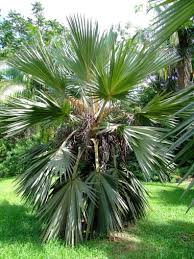 <b>Blue Latan</b> Palm Tree (Latania loddigesii) (с изображениями ...
