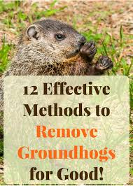getting rid of groundhogs mothballs. Delighful Groundhogs Learn How To Get Rid Of Groundhogs Forever Inside Getting Rid Of Groundhogs Mothballs U