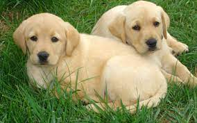 Yellow Lab Dog Wallpapers - Wallpaper Cave