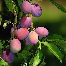 Plum Tree IdentificationPlum Tree Not Producing Fruit