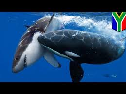 killer whale vs great white shark size comparison. Beautiful Comparison Killer Whale Vs Great White Shark Orcas Hunt For Shark Liver Off Coast Of  South Africa  TomoNews In Whale Vs Great White Shark Size Comparison F