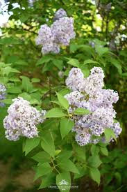 Lilacs In Landscape Design Pruning And Enjoying Lilacs Home With Holliday Blog Posts