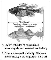 Finfish Regulations New Jersey Saltwater Fishing