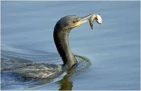 Resultado de imagem para imagens de receitas de peixes PIRANHA PRETA