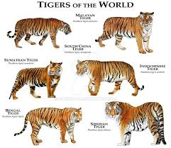 siberian tiger vs bengal tiger. Simple Siberian Tigers Of The World By Rogerdhall Leopards Tiger Species Bengal Tiger Siberian  And Vs
