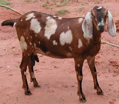 Different Breeds Of Goat What Breed Of Goat Is Best For Your