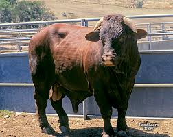 Image result for santa gertrudis