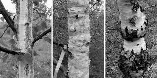 Картинки по запросу карельская береза ребристый ствол