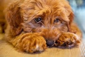 Labradoodle Designer Dogs Labradoodle Inventor Calls The Crossbreed His Biggest